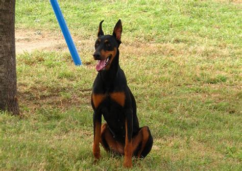 how to teach your to stay 4 month doberman proper height and weight iheartdogs