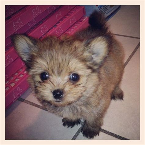 terrier pomeranian mix for sale 23 best images about porkie pomeranian yorkie on yorkie for sale and
