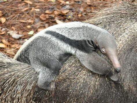 baby anteater  brevard zoo zooborns