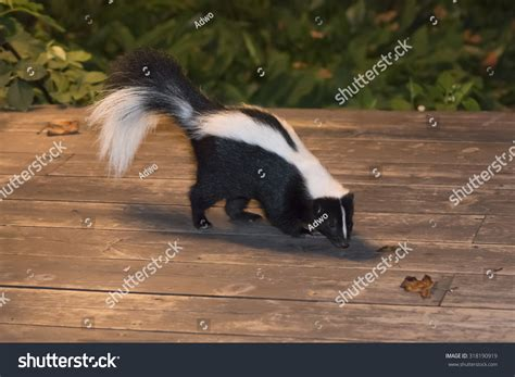 skunk in backyard patio stock photo 318190919