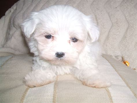 baby maltese puppies adorable tiny baby boy maltese puppy crewe cheshire pets4homes