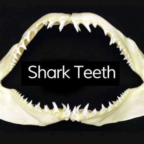 shark teeth template shop fish finder adventures sustainable fishing