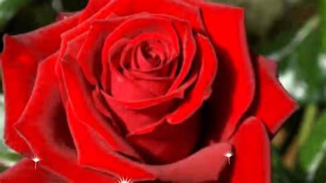 imagenes de rosas las mas hermosas las rosas mas bonitas del mundo the most beautiful roses
