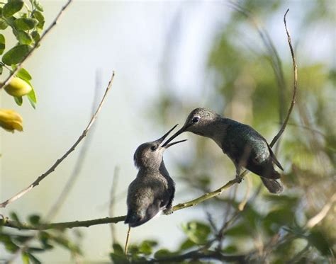 two hummingbirds in feeding time hummingbird facts and