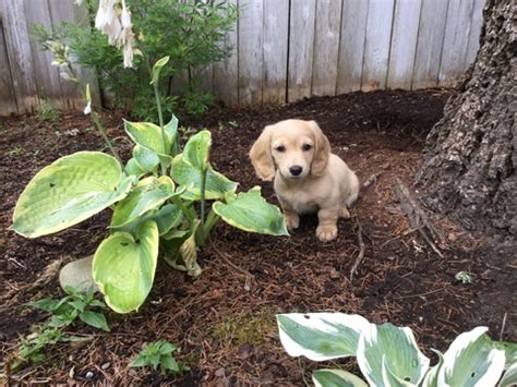 puppies for sale puyallup wa view ad dachshund puppy for sale washington puyallup usa