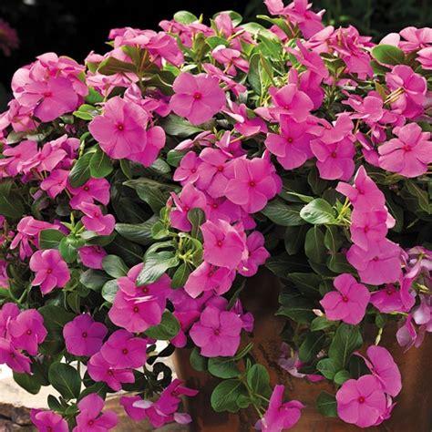 Bunga Vinca Casade Mixed cascade vinca seeds home gt cora 174 cascade lilac vinca flower seeds flowers