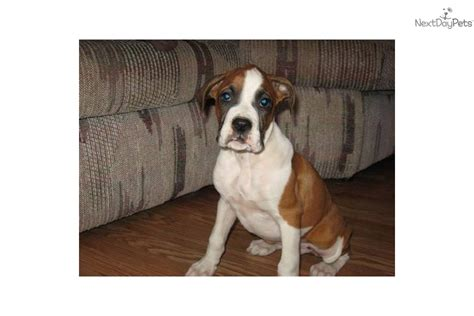 boxer puppies for sale in arkansas boxer puppy for sale near fayetteville arkansas ca80d079 6441