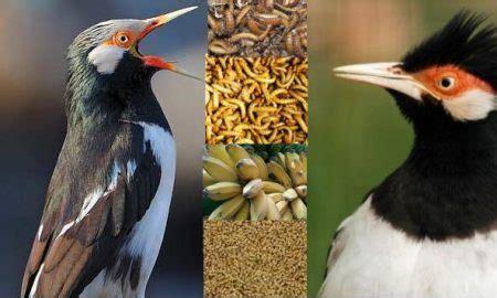Harga Pakan Burung Jalak Suren jalak suren archives hobi burung