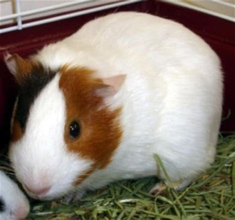 guinea pig bedding bulk cheap guinea pig bedding 25 best ideas about guinea pigs