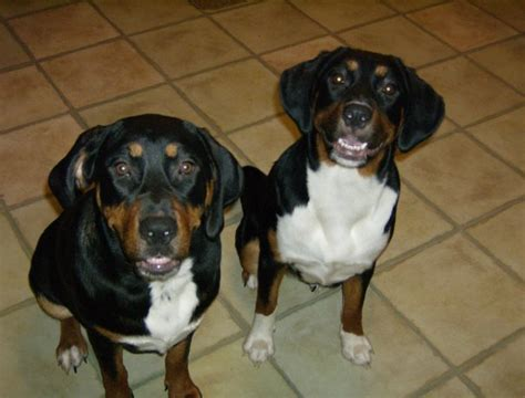 coonhound rottweiler mix precious duchess treeing walker coonhound rottweiler mix allmutt