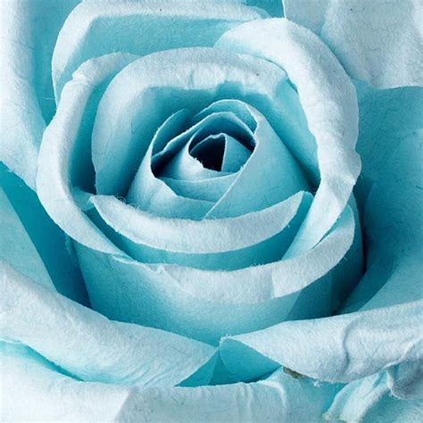 light blue and white roses on hiatus