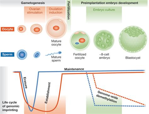 embryogenesis pattern formation from a single cell the health risks of art embo reports