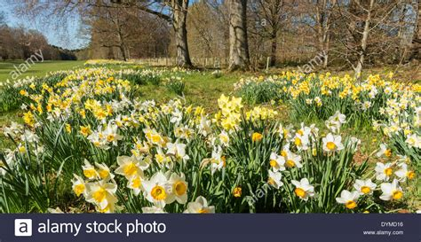 daffodil gardens at brodie castle in springtime moray scotland stock photo royalty free image