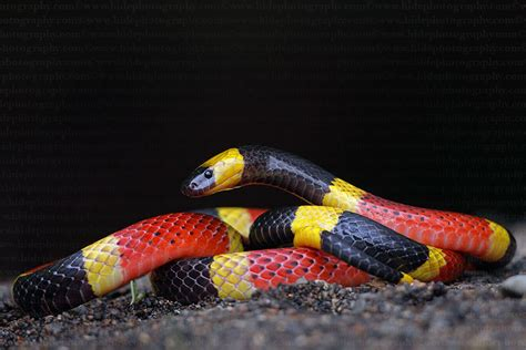 color pattern of coral snake mu peter warning colors part 3 evolution of coral snakes