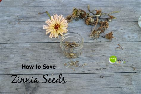 how to save zinnia seeds mom it forward