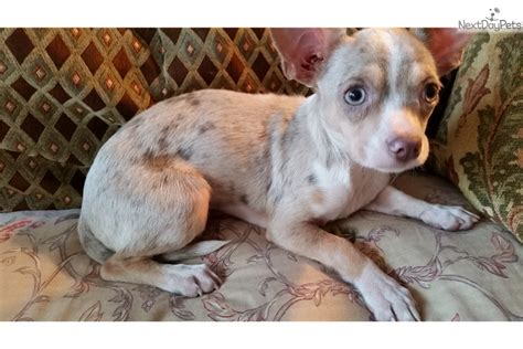 free chihuahua puppies michigan carolina poodle puppies free adoption carolina breeds picture