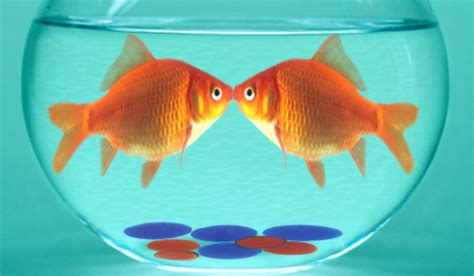 Parenting Relying On Goldfish For Help by Is It An Aldi Fish Or A Saucy Fish A Fishy Tale Continues