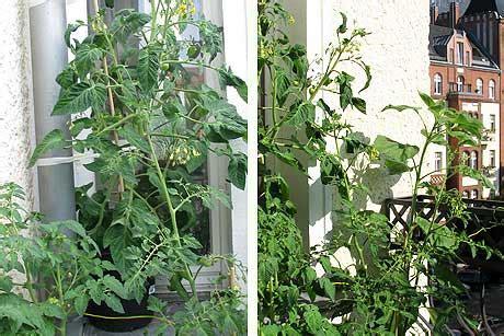 Tomaten Auf Dem Balkon 5347 by Mein Fast Wilder Balkongarten