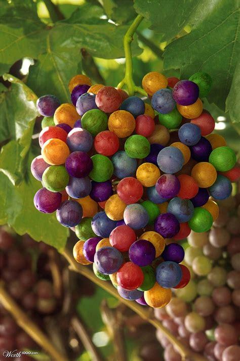 Bibit Benih Seeds Buah Anggur Wine Grape Fruit Common Grape Vine