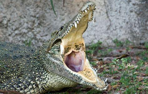 hocico de cocodrilo en cartulina cocodrilo cubano wiki acam fandom powered by wikia