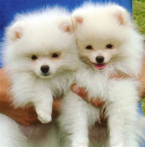 pomeranian puppies in florida pomeranian rescue florida husky puppies for sale design breeds picture