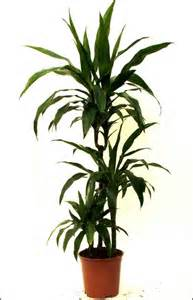 Indoor House Plants by Gallery For Gt Large House Plants