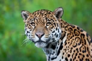 Different Types Of Jaguars China Penar 225 Con C 225 Rcel A Los Consumidores De Animales