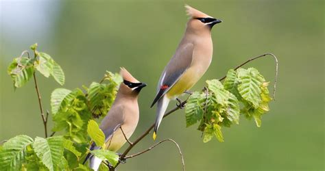 cedar waxwing life history all about birds cornell lab