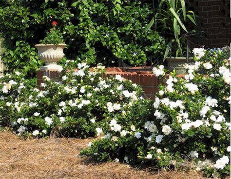 Gardenia Winter Plant Preview Evergreen Crown R Gardenia Drenches