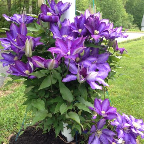 clematis climbing plant climbing clematis vine vines climbers