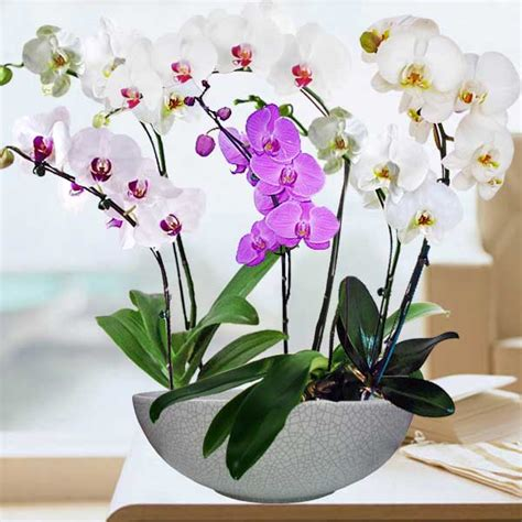 orchid delivery singapore orchids online orchid delivery live orchid