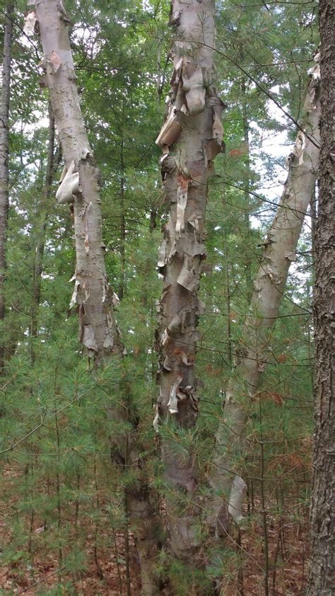 Why Do Trees Shed Bark by Diagnosis Why Are Large Sections Of Bark Peeling These Birch Trees Is It Contagious