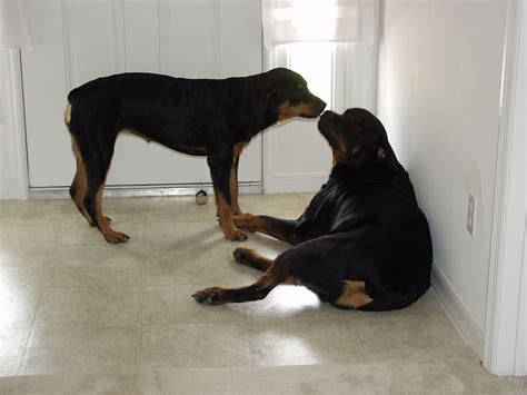 do rottweilers attack their owners rottweiler humans muleshoebend