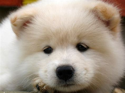 samoyed puppies for sale az 1000 images about fluffy family on treats adoption search