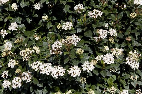 shrub with small white flowers in december 21 viburnum tinus the garden