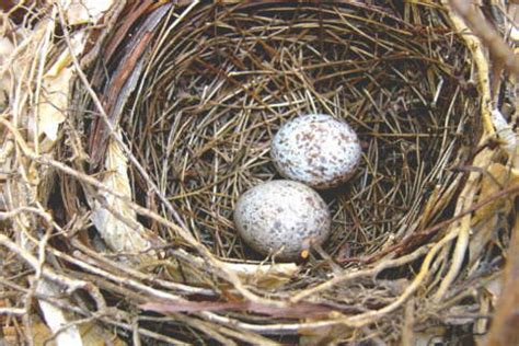 what color are cardinal eggs northern cardinal eggs