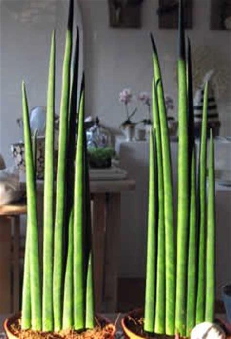 bloem vrouwentong best 25 sansevieria cylindrica ideas on pinterest