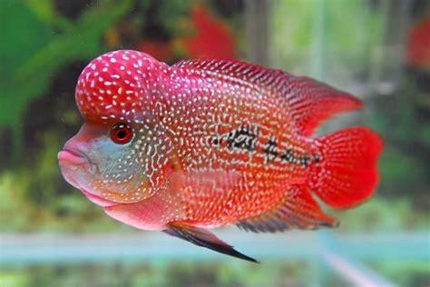 Makanan Ikan Hias Komet makanan ikan louhan biar jenong mau tau nama nama hewan