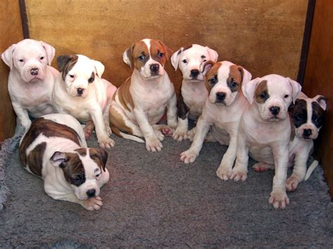 bulldog puppies for sale in colorado american bulldog puppies rotherham south pets4homes