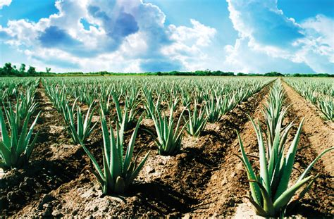 do aloe plants need sunlight aloe up sun skin care products