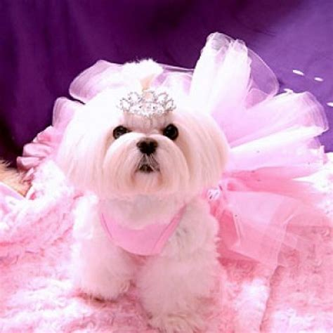 puppy princess 17 costumes that prove shih tzus always win at