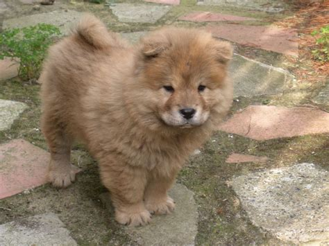 chow puppies for sale chow husky mix
