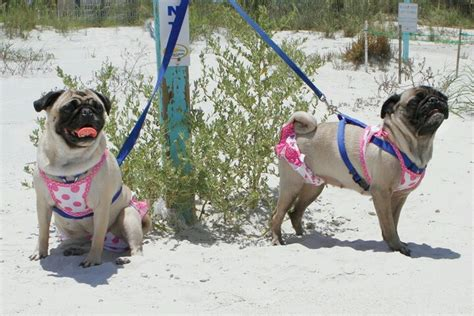 pug summer 17 best images about pretty pugs on pug summer and puppys