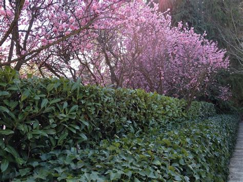 flowering plum trees garden pinterest
