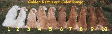what color are golden retrievers golden retrievers