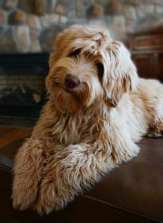 puppy haircuts near me labradoodle grooming styles google search chewbacca