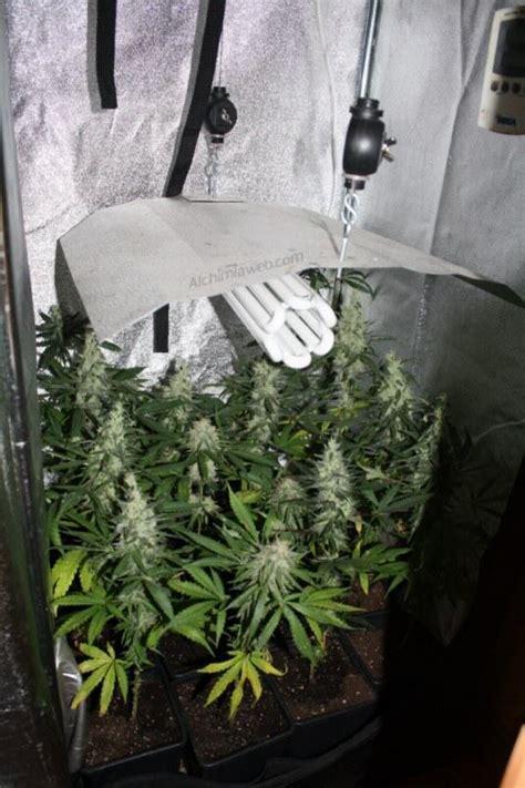 growing marijuana  energy saving lamps alchimiaweb