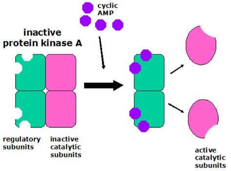 protein kinase is an enzyme that protein kinase a the school of biomedical sciences wiki