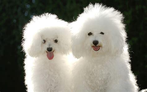 white fluffy puppy wallpaper puppy white fluffy bichon frise desktop wallpaper 187 animals