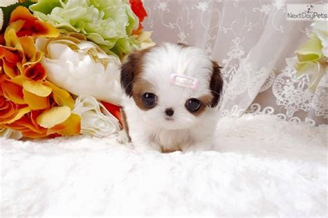 shih tzu puppies for sale las vegas bunny shih tzu puppy for sale near las vegas nevada 1d7905e0 8dd1
